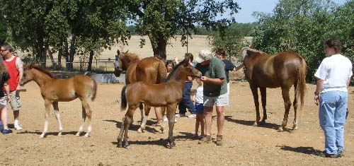 Visitors enjoying the friendly horses of DreamCatcher Arabians.